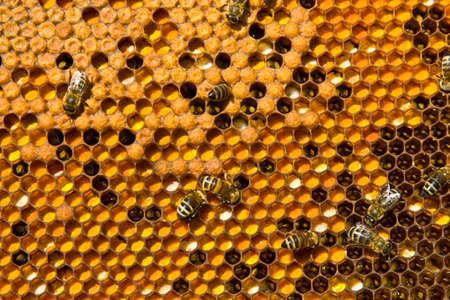 ambrosia: In this case, cells are filled with ambrosia and bee brood.