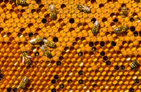 ambrosia: Honeycomb frame pieni di ambrosia e ape covata