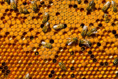 ambrosia: Frames beehive filled with ambrosia and bee brood Stock Photo