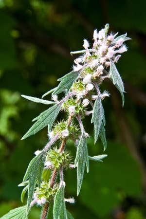 Pustyrnyk (Leonurus Cardiaca, Leonuri Herba) ist ein Arzneimittel Gras. Es dient als Cardiac. Standard-Bild - 7313030