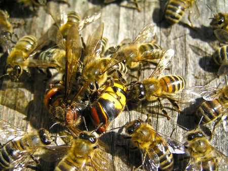 dwell: A hornet tried to get to the beehive, where bees dwell. They rendered harmless an aggressor. Stock Photo