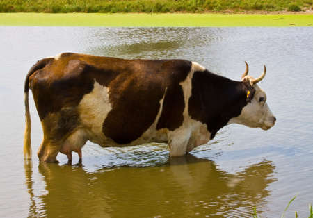 drank: In the heat of cows come into reservoirs, where he drank water and cooled.