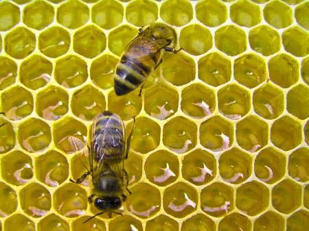 Die Bienen machen den Nektar in Honig. Sie warb ihn in den Körper und die Enzyme zu bereichern.  Standard-Bild - 7467952