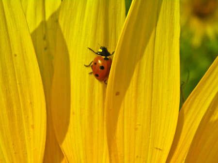 coccinella: Ladybird (Coccinella septempunktata) on sunflower petals.