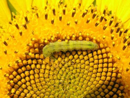 potentiality: CATERPILLAR come n�ctar y polen, que dan flores girasol  Foto de archivo