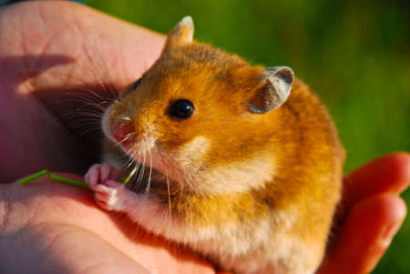 Hamster sitting on his hands and the child eats.