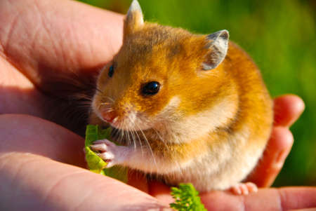 Hamster sitzen an seinen Händen und das Kind isst. Standard-Bild - 7739338