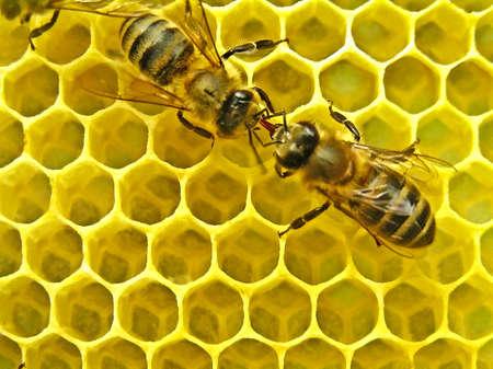 Bienen leben in Kolonien, und daher ständig kommunizieren. Standard-Bild - 8096156