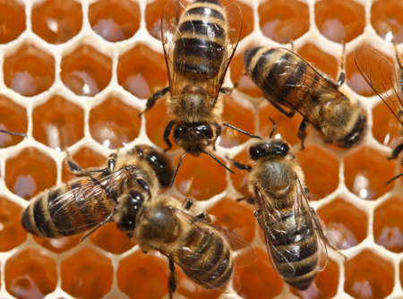Junge Bienen recyceln den Nektar in Honig. Standard-Bild - 8166556