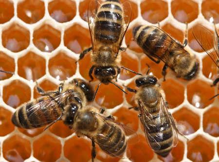 abejas panal: Las abejas j�venes reciclan el n�ctar en miel. Foto de archivo