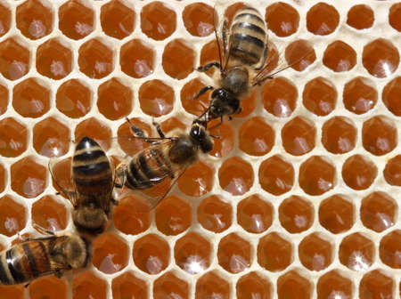 The bees are working in the hive. They process the nectar into honey. Stock Photo - 8166551