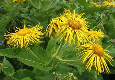 Elecampane (Inula helenium) - a medicinal plant.