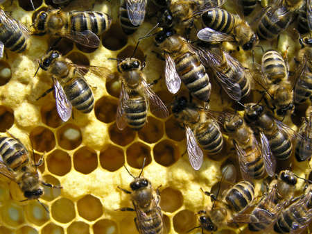 cocoons: This photo shows the young bees. They feed the larvae and cocoons, the surface of cells. Stock Photo
