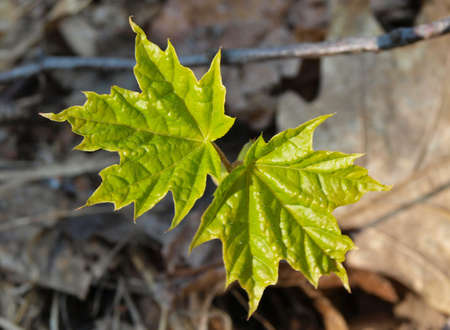 The young sapling maple pierced the old leaves and extends to the light.