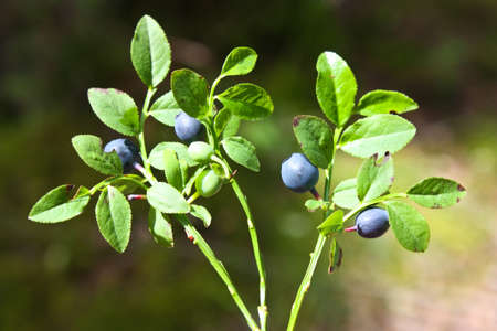 Bilberry (Vaccinium myrtillus) a kind of long-term undersized bushes. Stock Photo