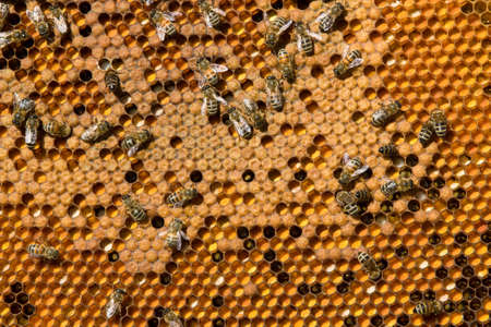 ambrosia: In the honeycomb frames are the larvae of bees and pollen.