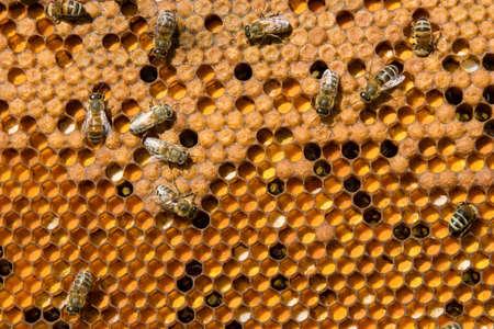 In den Waben sind Rahmen die Larven von Bienen und Pollen. Standard-Bild - 8819630