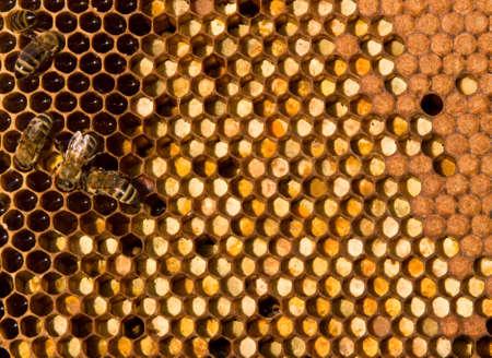 ambrosia: In tsentalnyh le cellule sono raccolti direttamente presso il polline dei fiori. Diritto - chiuso nelle cellule di larve di futuri delle API.