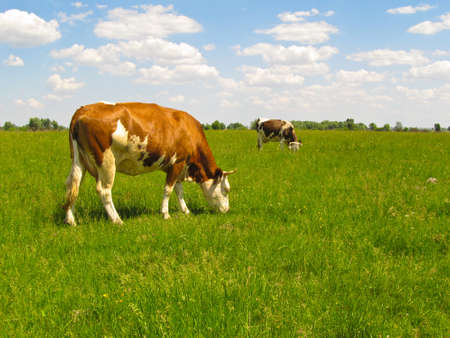 Cows are happy to graze on the meadow. They almost do not react to the presence of photographer.