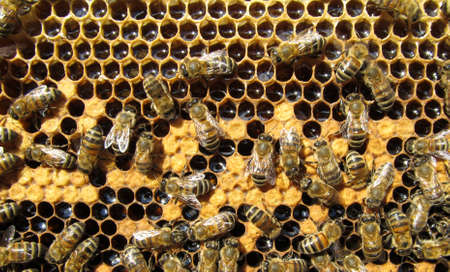 Bees clean cells, in which the eggs are placed. Under the brown wax caps are larvae of bees future.