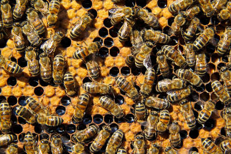 larvae: Bees clean cells, in which the eggs are placed. Under the brown wax caps are larvae of bees future.