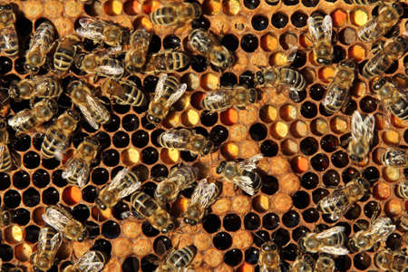 ambrosia: Bees - intelligent insects. In the honeycombs are their larvae, ambrosia and nectar