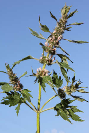 Motherwort relates to medicinal plants. It grows in vacant lots, roadsides.