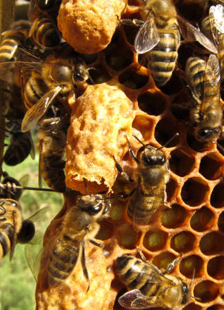 beekeeping: Two cocoon. Upper gnawing. From it came the mistress of future bee family. Stock Photo