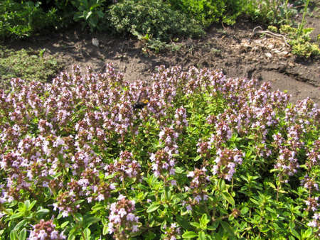 Thyme or Shepherd ( Thymus pastoralis - L.) It grows in woodsand fields and waste places. Gives the fragrant nectar. Stock Photo