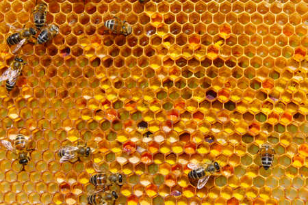hive: Storage of pollen - one of the types of work bees.