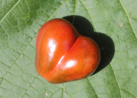 occurrence: The shape of tomato resembles the symbol of love - the heart. This is a fairly common occurrence.