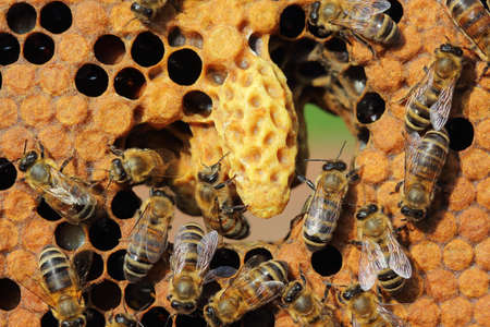 the larvae: In the center of frame - the cocoon of the future mistress of colony of bees. Brown circles - it covers hundreds, which contain the larvae of the future of bees. Insects take care of larvae.
