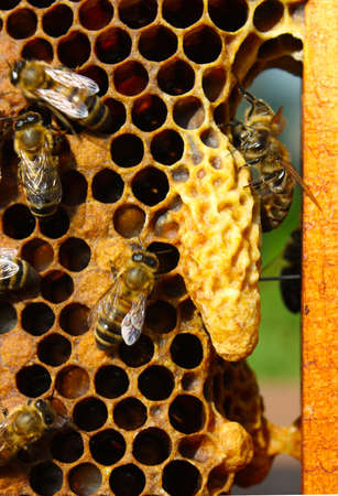 The bees take care of larvae of bees and their future mistress - mother colony.