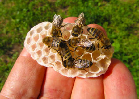 Bees removed nectar, which the beekeeper poured into honeycomb. Stock Photo