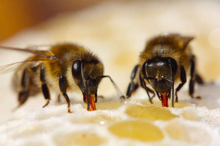 apiculture: The bees suck nectar of ventricles, where it will be enriched by enzymes. Stock Photo