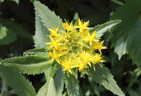 medical  plant: Una ra�z oro es una planta medicinal. Una imagen que se hace en Ucrania.