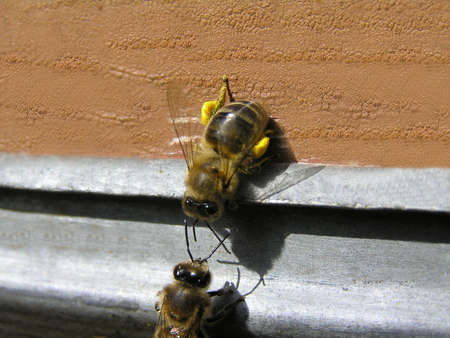 Bees are divided into groups, each of that executes the functions. In this case one bee delivered pollen in a beehive. Other bee checks her for belonging to this family.