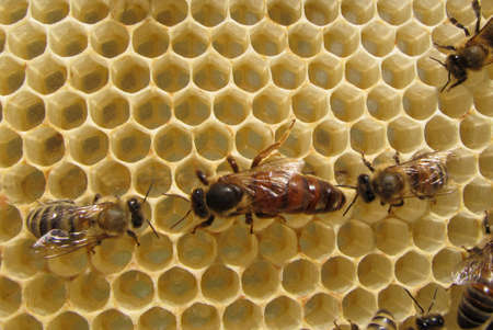Hive: Queen Bee lays eggs. She is accompanied by a bee.