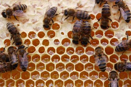 Delivered to the hive nectar into honey bees transform. Stock Photo