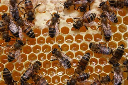 Ausgeliefert an den Bienenstock Nektar in Honig Bienen verwandeln. Standard-Bild - 12427645