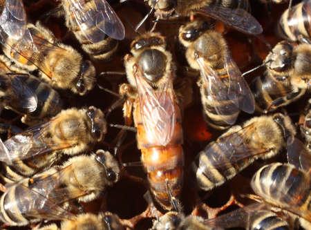 abeja reina: Abeja reina rodeada por los trabajadores El movimiento de las abejas siempre conduce a una imagen borrosa