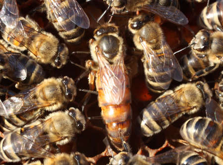 Queen bee surrounded by the workers  The movement of bees always leads to a blurred image