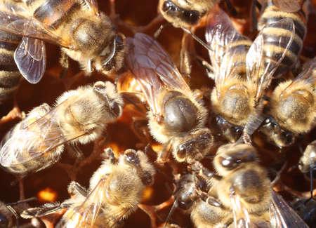 bee queen: Abeja reina rodeada por los trabajadores El movimiento de las abejas siempre conduce a una imagen borrosa