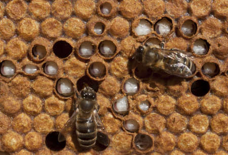 reasonable: The bees take care of their larvae