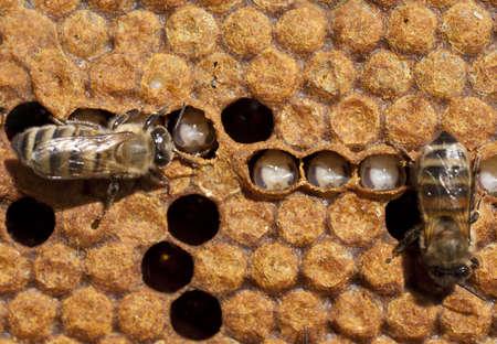 bee queen: Las abejas cuidar de sus larvas en la esquina superior derecha de huevo, que perdi� su abeja reina