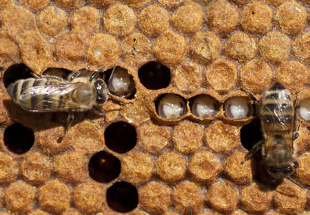 The bees take care of their larvae  In the upper right corner of egg, which lost its queen bee Stock Photo - 13565495