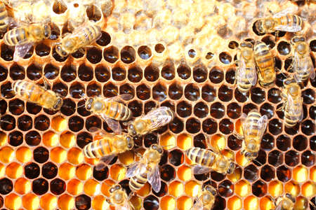 Bee pollen, nectar, honey - all that is depicted in photograph  Shooting is complicated by movement of bees  photo
