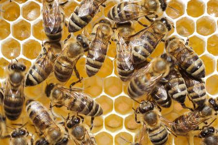abeilles: Les abeilles construisent des nids d'abeilles Le mat�riau est une cire qu'elles produisent du miel Banque d'images