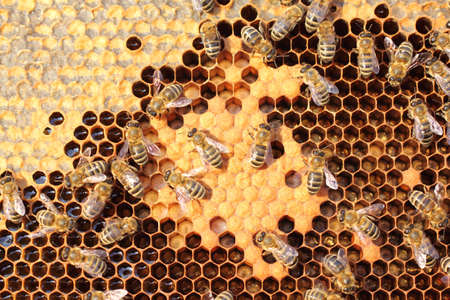 Bees take care of the larvae - their new generation  Standard-Bild