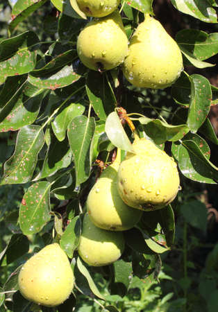 pectin: Hanging on a pear tree - a useful food